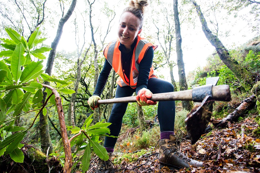 Snowdonia Society volunteer removing Rhododendron saplings