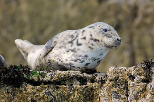 Grey Seal © Easton Nature